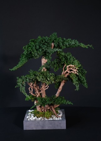 Bonsai trær